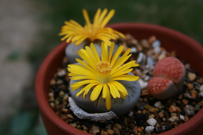 Lithops pseudotruncatella subsp. groendrayensis C239